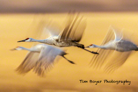 Sandhill Cranes leaving corn fields for their evening roosting ponds.
