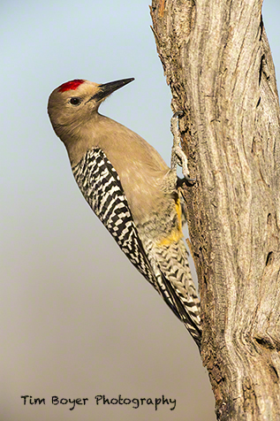 A male Gila Woodpecker searches for food in SE Arizona, near Green Valley.