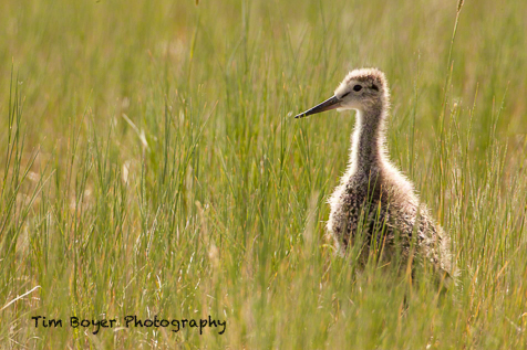 Marbled Godwit chick hiding in the short-grass prairie.