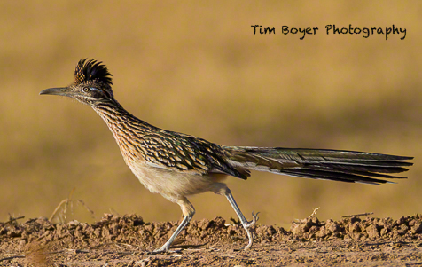 A Road Runner dashes along one fo the many dikes in the refuge.