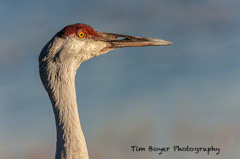 A Sandhill Crane pauses during feeding to checkout the surroundings.