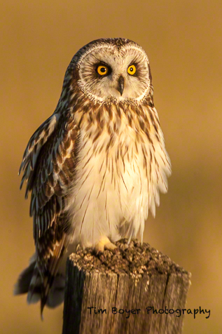 Early morning light on a Short-eared Owl.