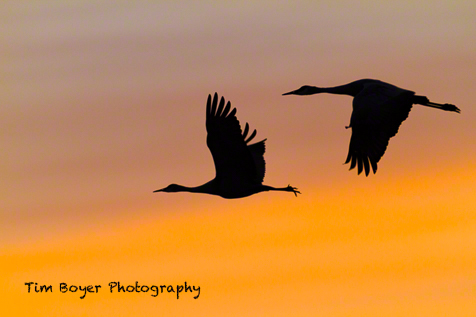 Two Sandhill Cranes flying to the corn fields in morning light.