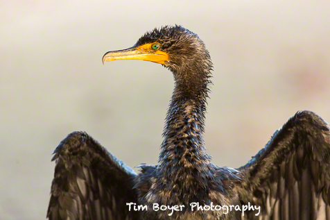 A wet Double-crested Cormorant.