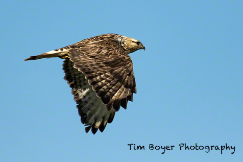 Rough-legged Hawk near the West 90. 1/2000 of a second, f/5.4 at ISO 250 with the Canon 7D Mark II and  a 100 to 400 zoom at 40 mm.