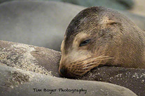 Sea Lion pup taking a nap with a soft furry pillow.