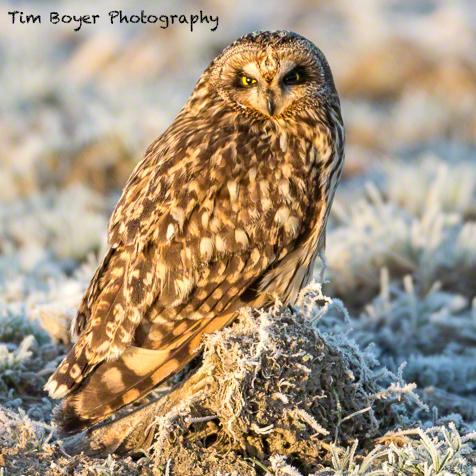 Short-eared Owl at the  Leque Island Wildlife Area.