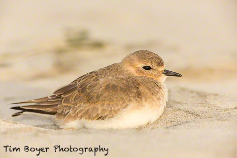 Mountain Plover - 1/160 of a second at f/5.6 and ISO 500. Canon 5D Mark III 600mm lens and CTO gel and 580 EXII flash.