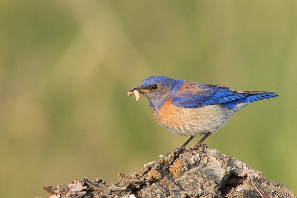 Male Mountian Bluebird about to jump inot ht enest box and feed a few chicks. ISO 3200