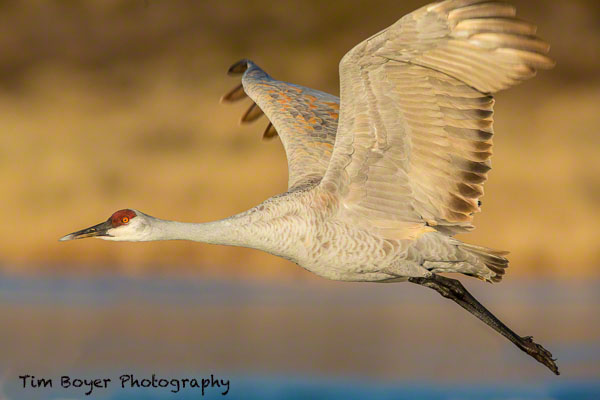 Sandhill Crane taking flight in morning light. 1/1600 of a second, f/9, ISO 640 witht eh Canon 5D Mark III and a 600 mm f/4 lens with a 1.4 Extender.