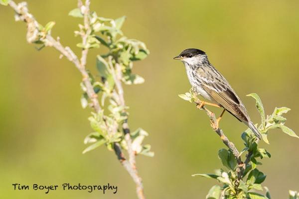 Blackpoll-Warbler-0946.jpg