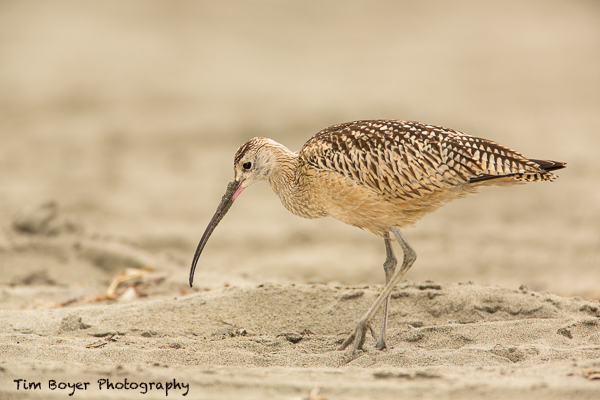 Long-billed-Curlew-2728.jpg