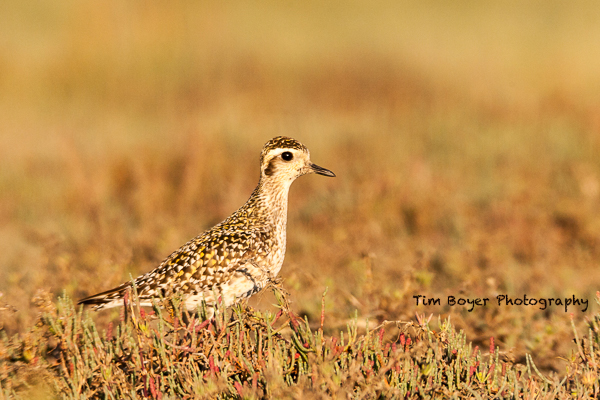 Pacific-Golden-Plover-.jpg