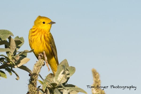 Yellow-Warbler-3491.jpg