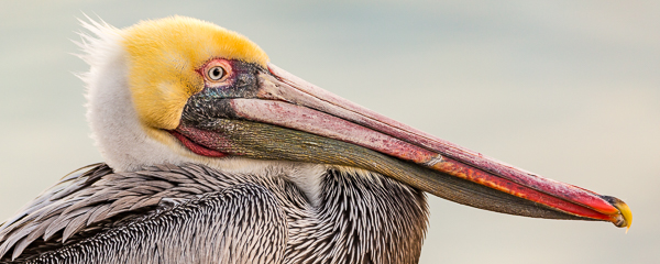 Brown-Pelican-7379.jpg