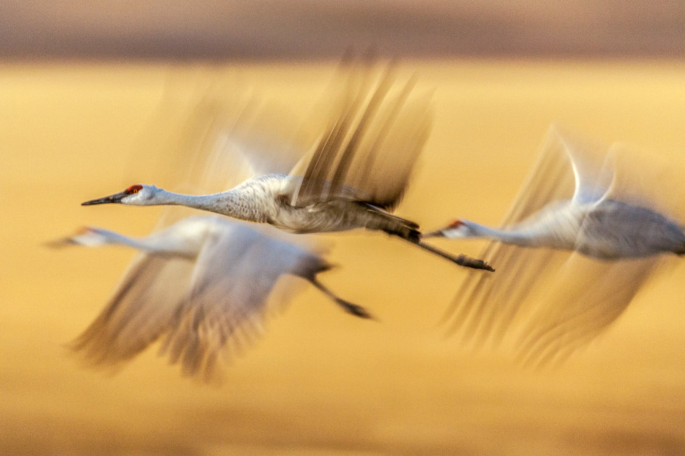 Sandhill Cranes Evening Flight