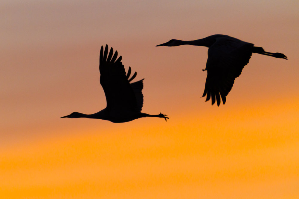 Sandhill Cranes after sunset