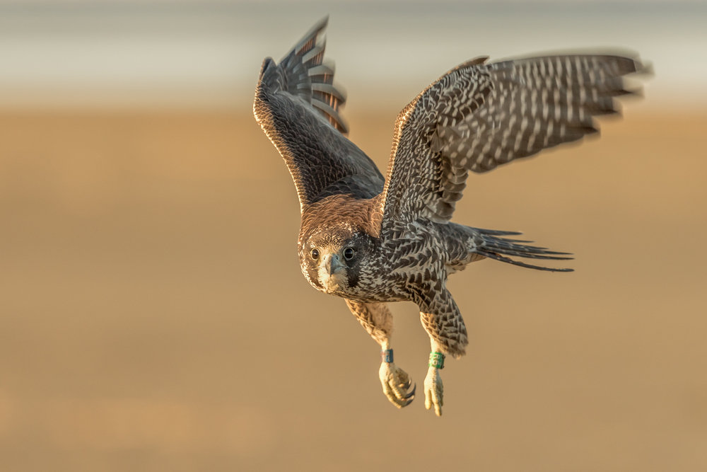 Peregrine Falcon taking flight.