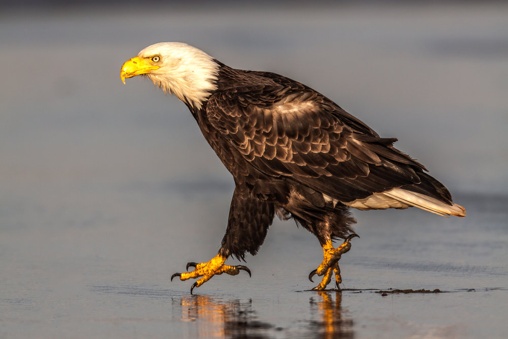 Bald Eagle walking down the beach.
