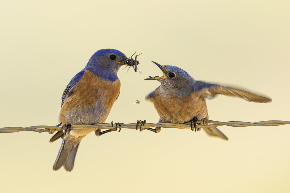 Western Bluebirds from Wenas and Umtanum Canyons