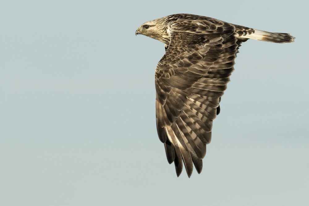 Rough-legged Hawk form the Samish and Skagit River Deltas