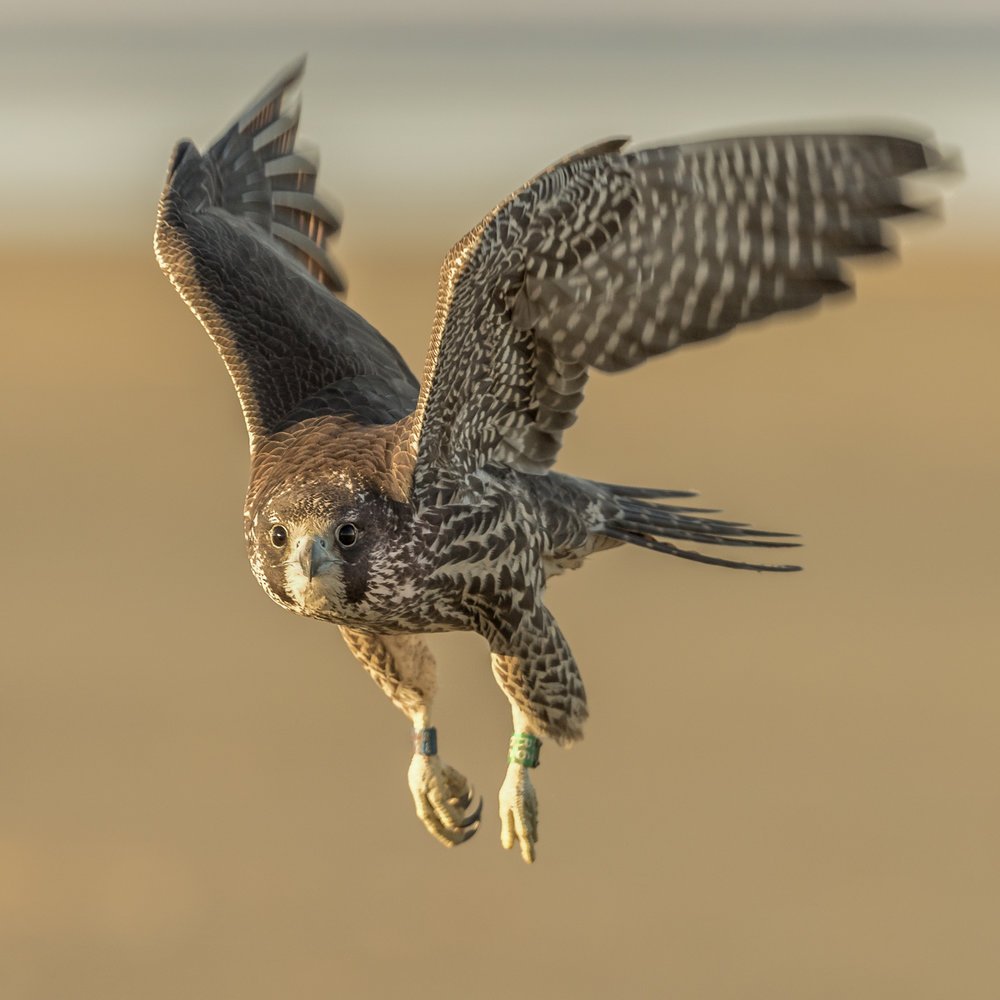 peregrine flight-5484.jpg
