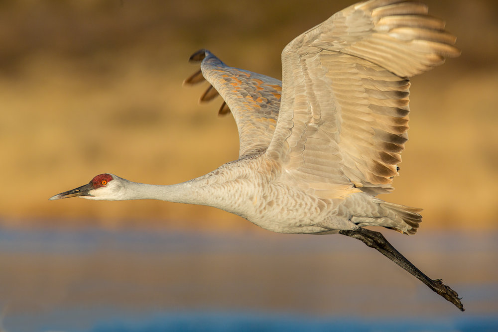 Sandhill Crane flying in morning light.