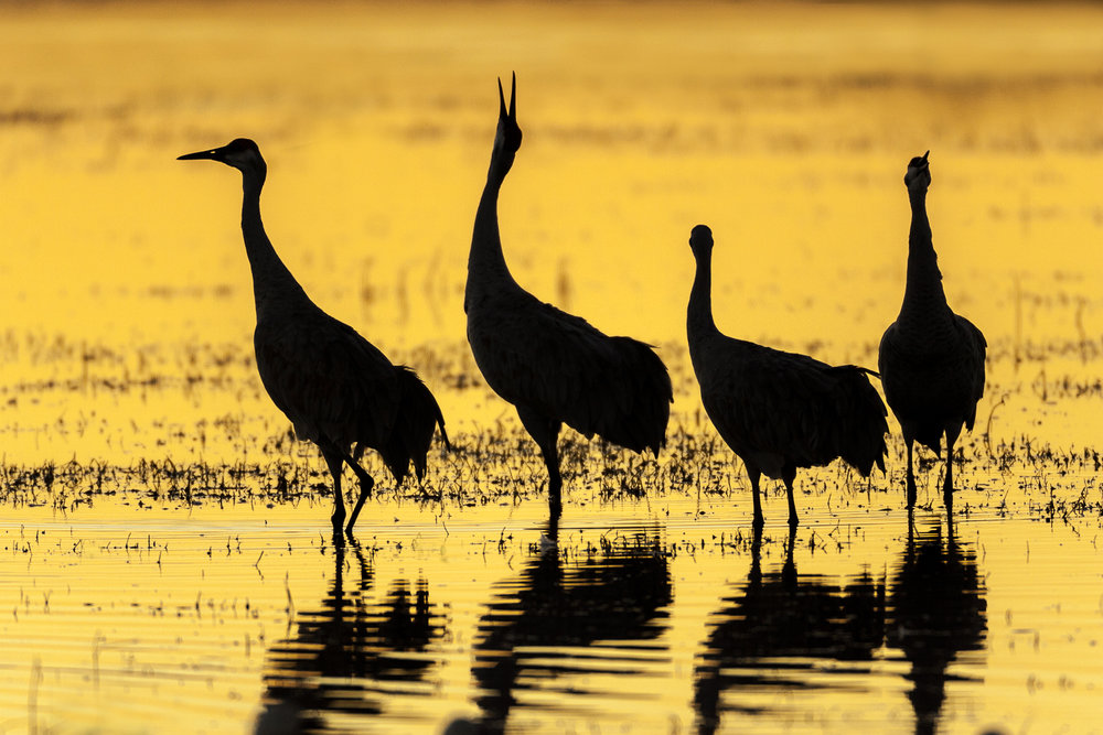 Family of Sandhill Cranes in moring light reflected in the main pond.