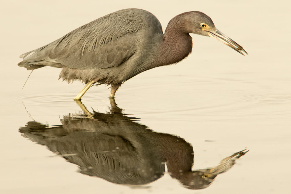 Little Blue Heron fishing for dinner.