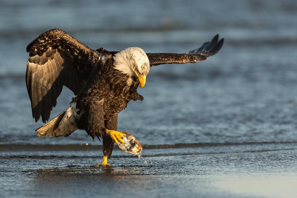 Bald Eagle with a crab shell.