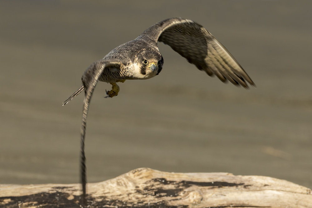 Peregrine Falcon fly by.