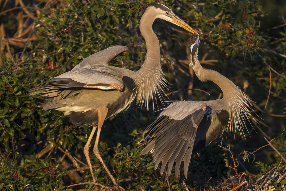 Great Blue Herons nesting, Venice Rookery.