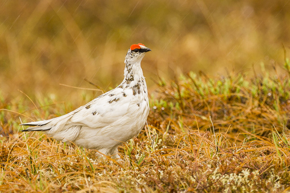 Willow Ptarmigan in the rain.