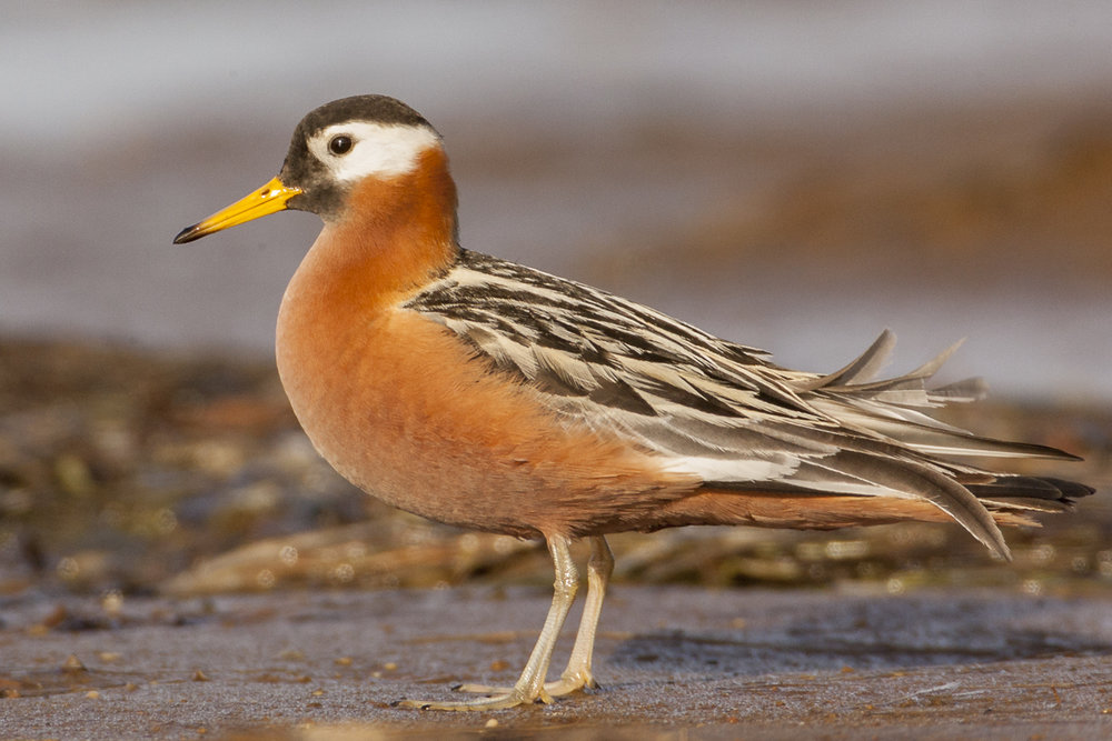 Red Phalarope.