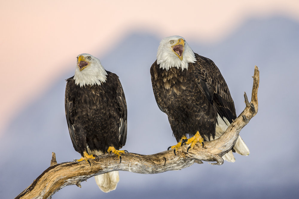 Mated pair of Bald Eagles, Fill-flash after sunset