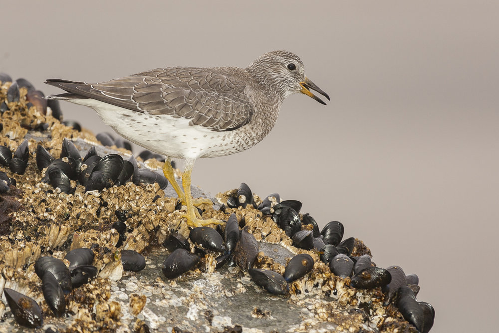 Juvanl Surfbird, taken with Fill Flash