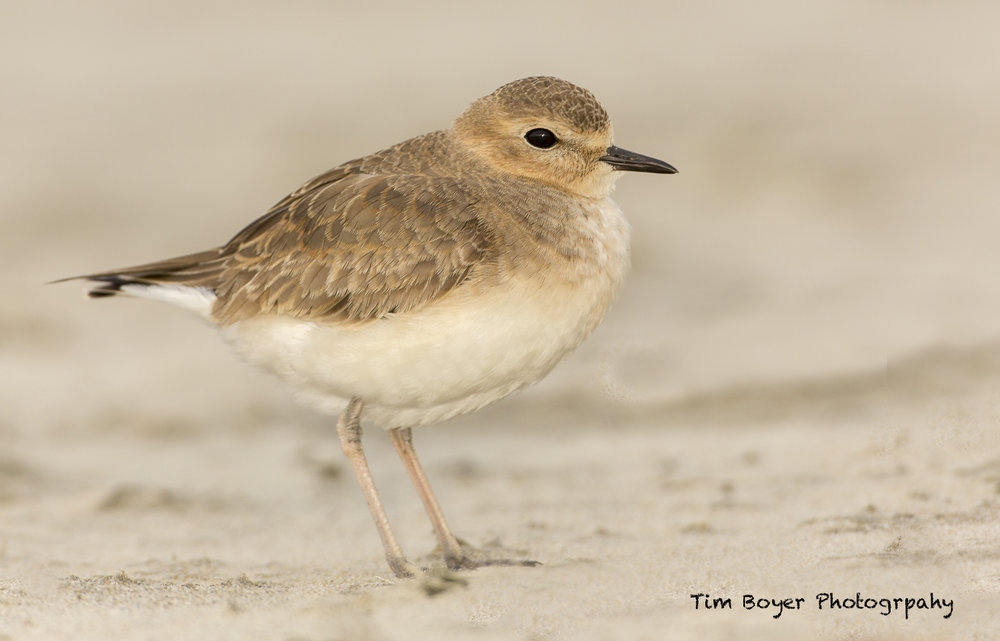 Mountain Plover, Oregon Coast  Off-camera Flash and CTO Gel