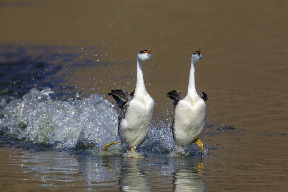 Western Grebes, rushing