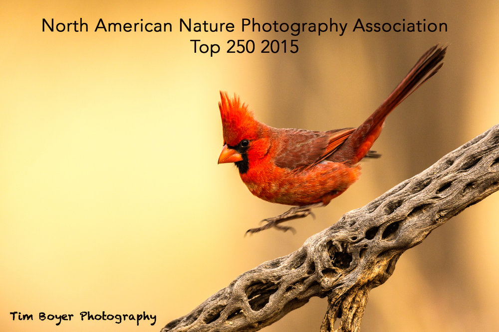 Northern Cardinal-4069.jpg