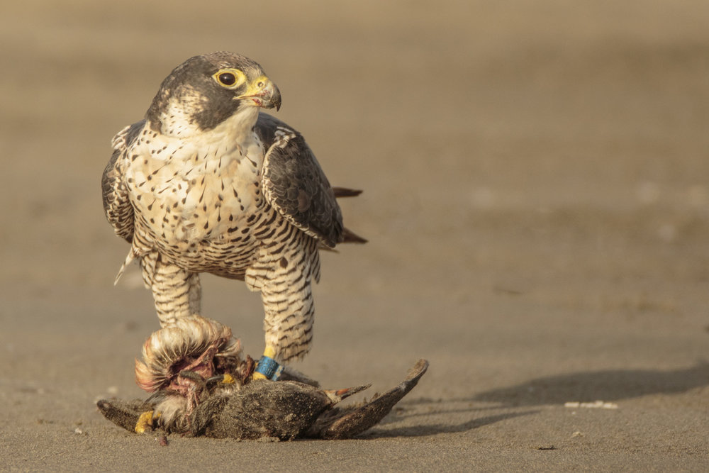 Peregrine Falcon scavenging a Rhinoceros Auklet at Ocean Shores, Aug. 3rd, 2016