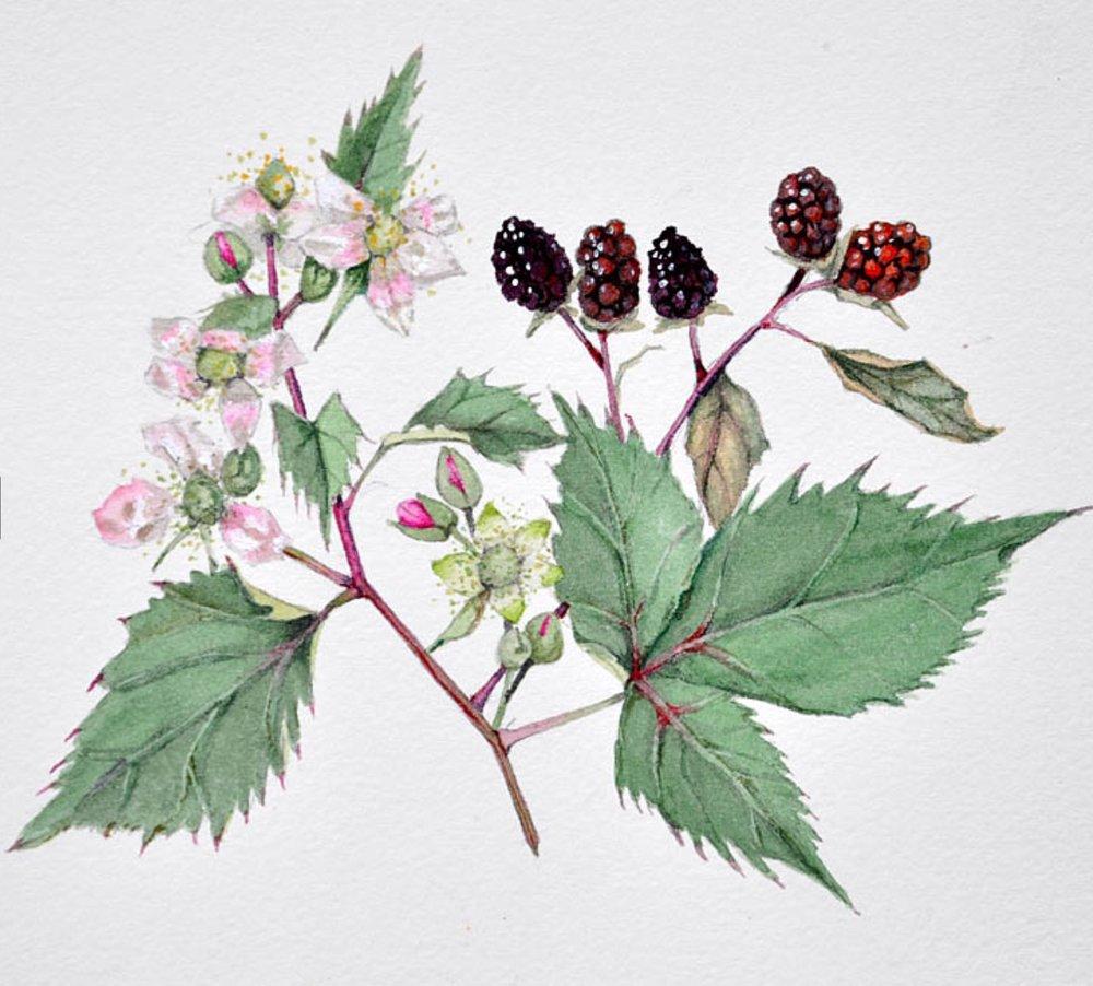 Blackberries,  Cathy Ross