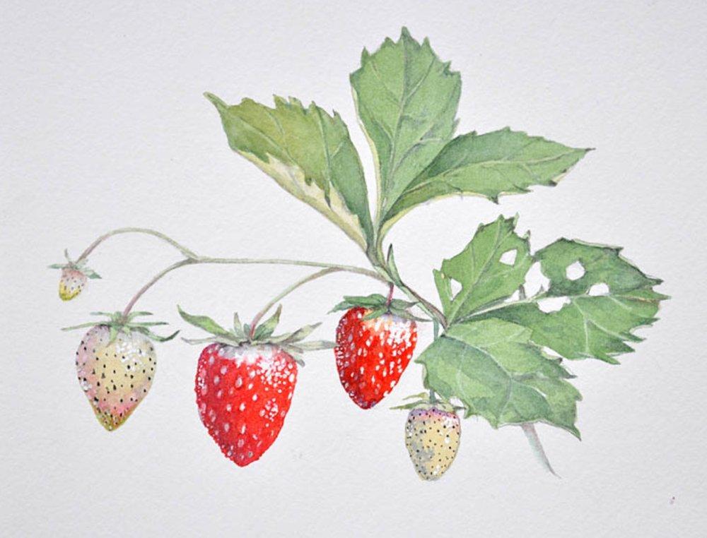 Strawberries,  Cathy Ross