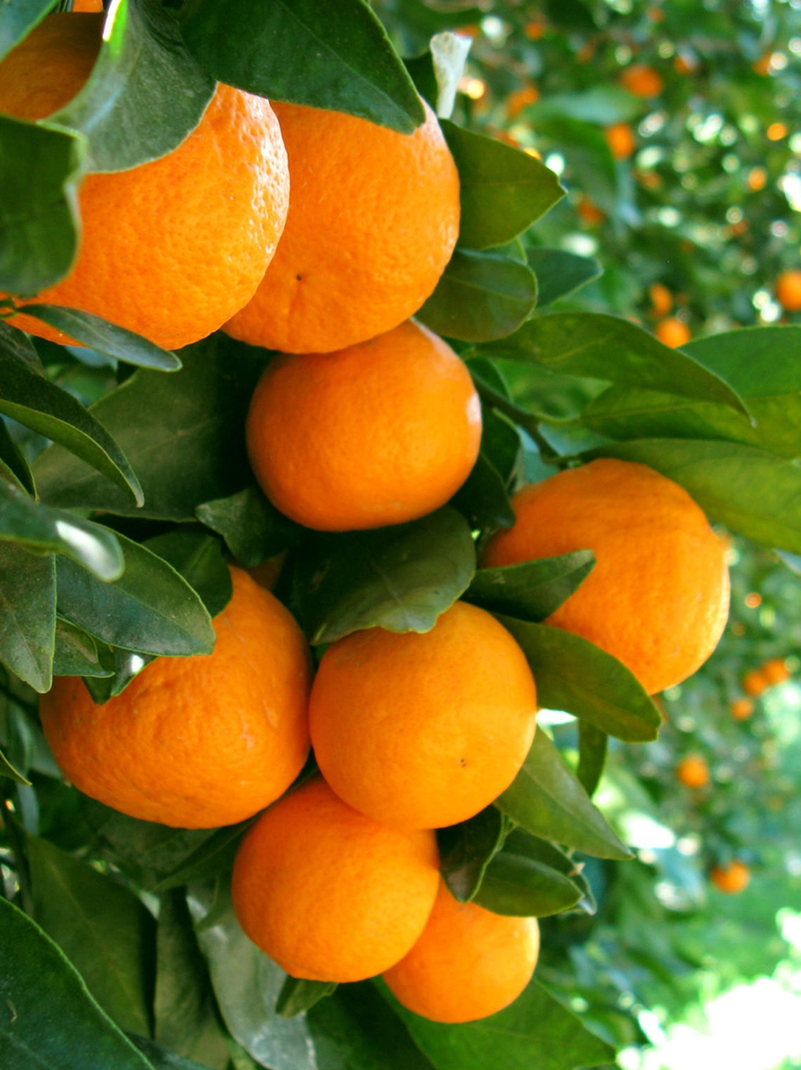 What are the benefits of sweet orange essential oil in skincare? - One of the main reasons sweet orange oil is included in skincare is for its high levels of Vitamin C, that help to protect and heal skin. It is also high in potent antioxidants which help to protect skin from UV and environmental damage. Ideal for sensitive or inflamed skin, we formulated our Calm it Baby baby oil using sweet orange oil specifically to offer it's anti-inflammatory and protective benefits.