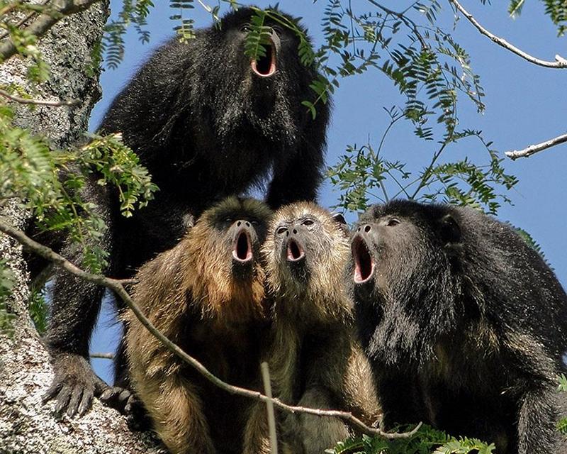 Singing monkeys