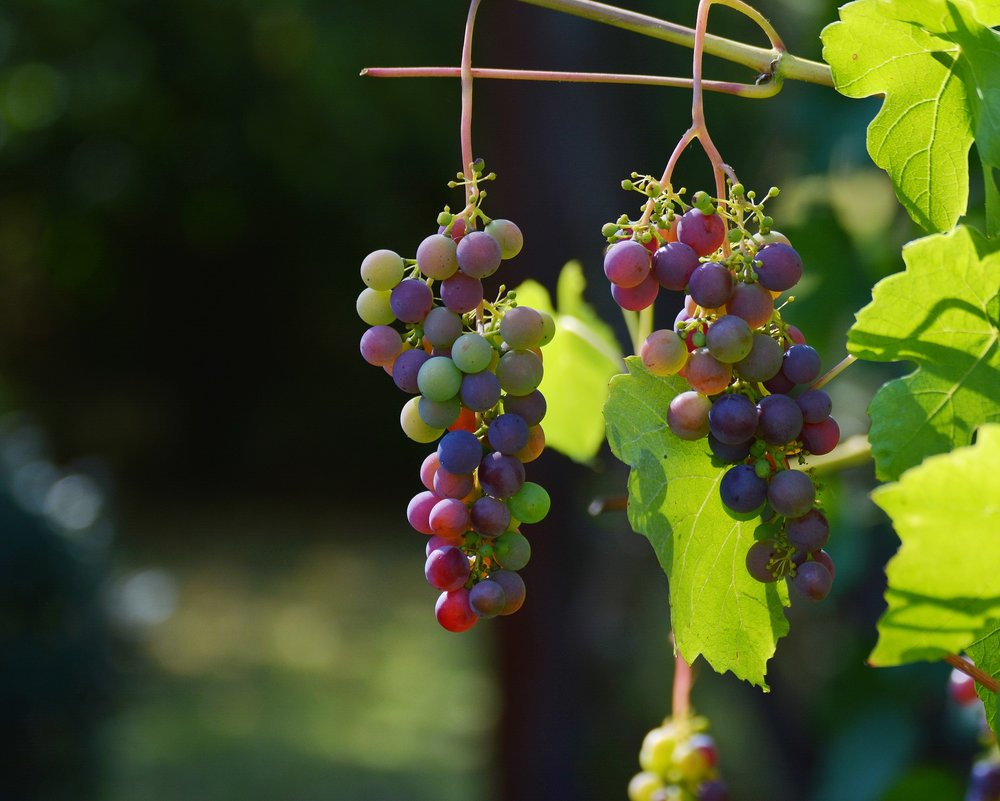 grapes some.jpg
