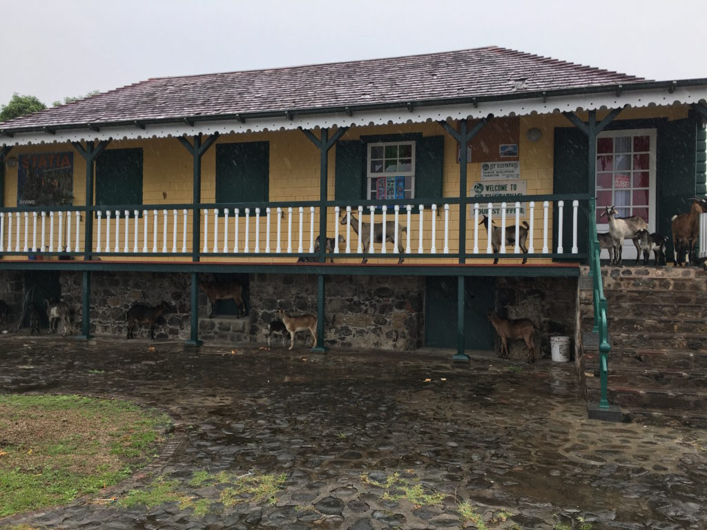 "Goat families ""waiting"" for the Sint Eustatius Tourist Office to Open"