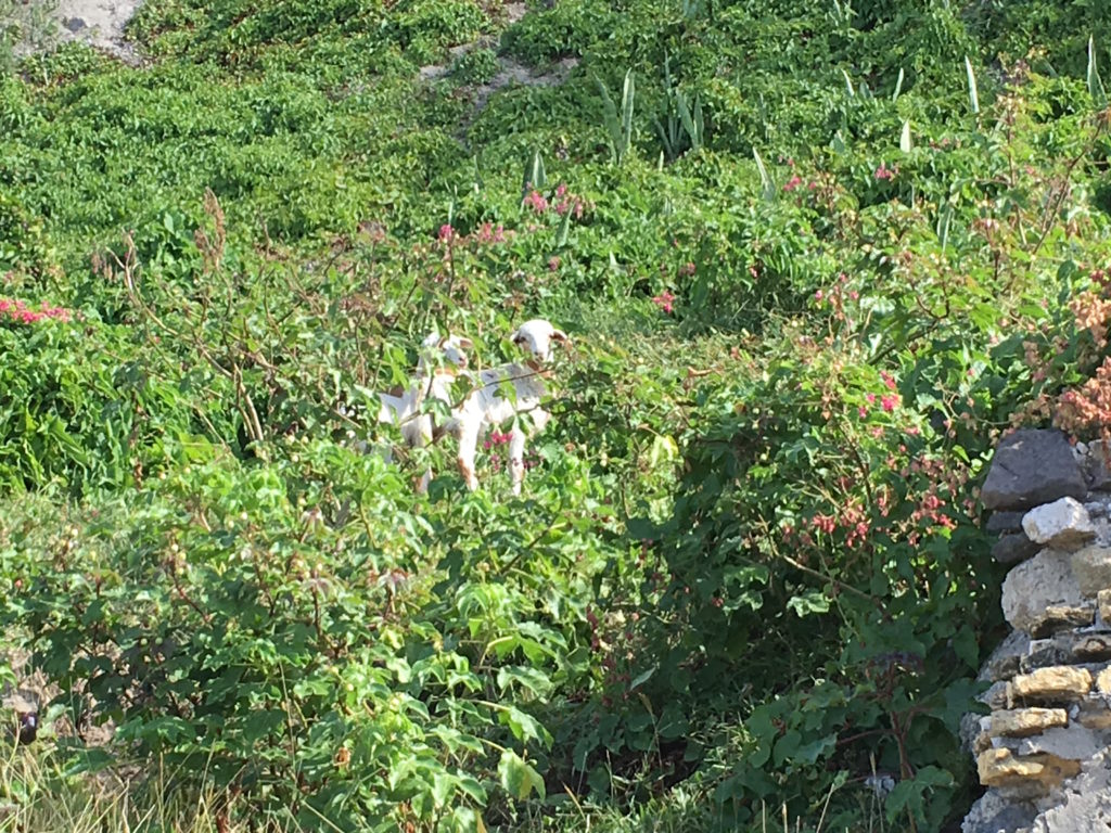 Goats on the cliff along the Bay Path Road munching on plants