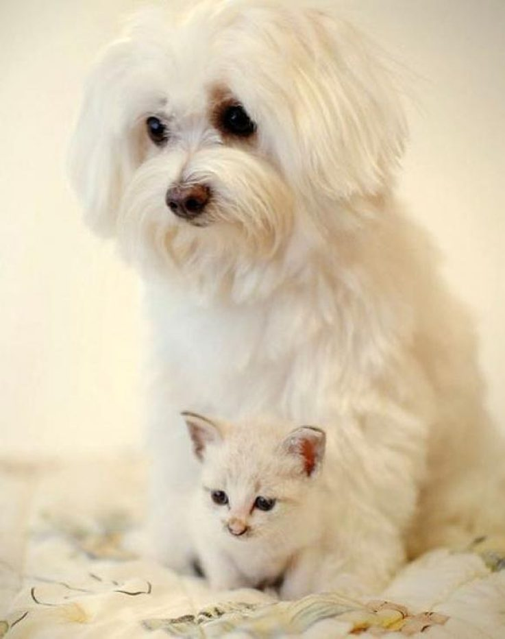 1471796835606dog-breeds-get-along-cats-6.jpeg