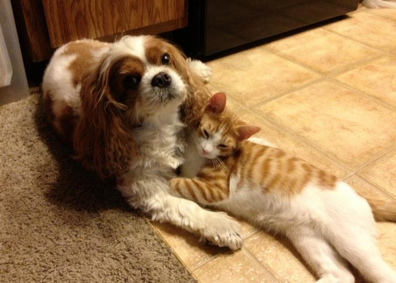 Cavalier-King-Charles-Spaniels-cats.jpg