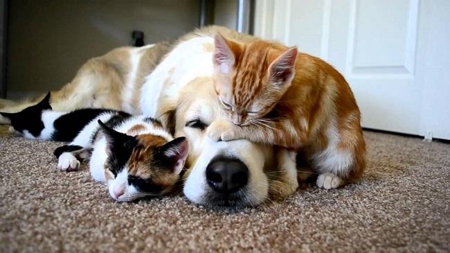 golden-retriever-dog-cats-photo-friends.jpg